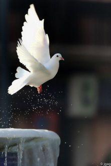 set free dove